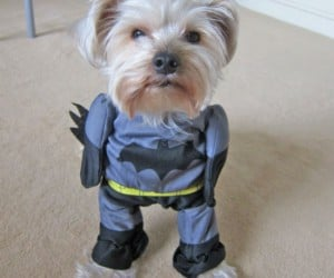 Batman Dog Costume – Introducing The Dog Knight!